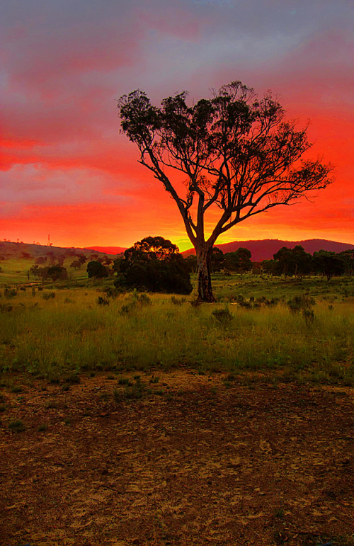A silhouette tree stands amidst a paddock with the best sunset you have ever seen