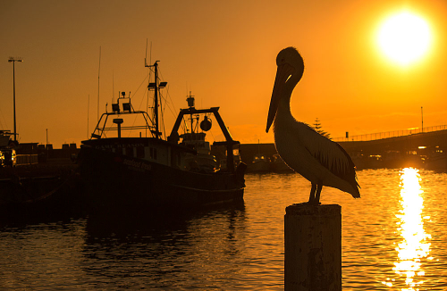 A pelican stands guard over the fishing boats at Wollongong Harbour