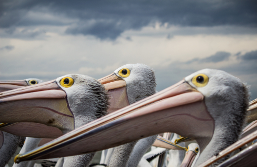 A group of pelicans stand erect and statue like.