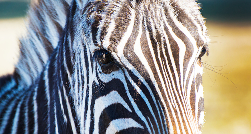 Afternoon sun on a Zebra
