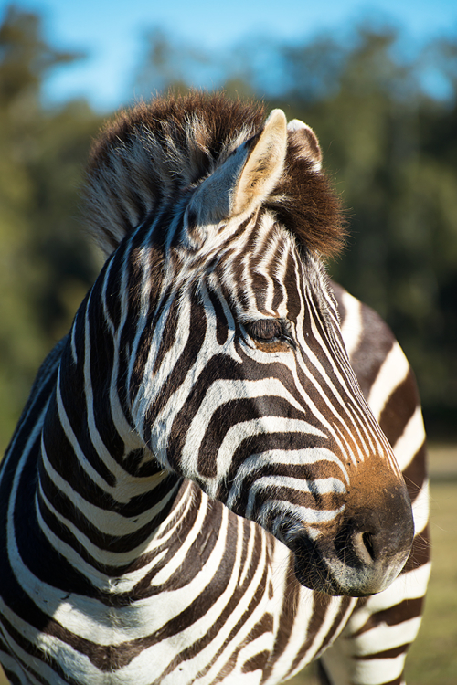 Zebra in vertical profile