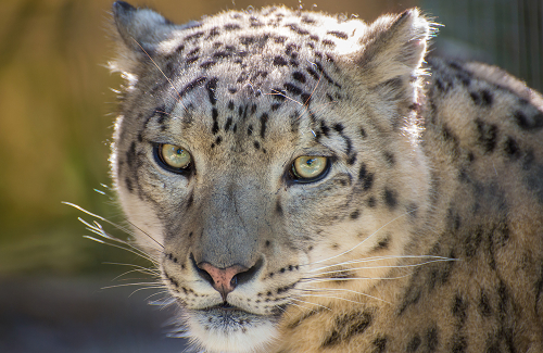 Big Cats, Snow Leopard, Mogo ZOOm
