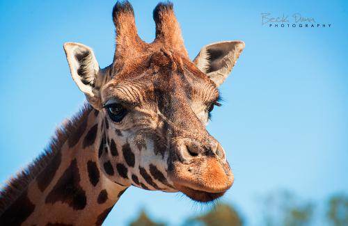 adolescent Giraffe