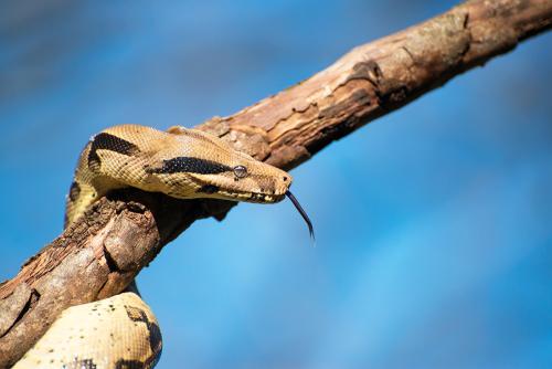 Snake, Python, Mogo Zoo